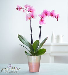 Precious Pink Orchid