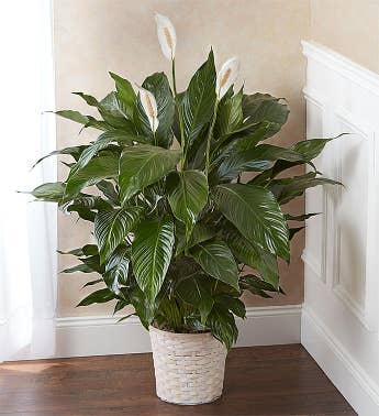 Peace Lily Plant for Sympathy