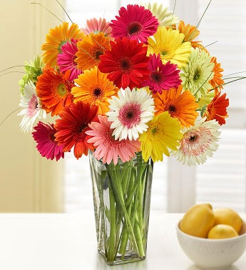 Happy Gerbera Daisies 12 - 24 Stems